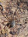 Spider under log - Calymmaria
