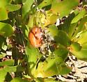 spider on protea - Araneus trifolium