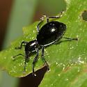 Antlike Weevil - Myrmex chevrolatii