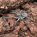 Spider (tarantula?) at Diamond Point in Payson, AZ - Hogna carolinensis