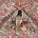 One-eyed Sphinx - Smerinthus cerisyi - male