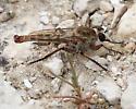 Proctacanthella sp. - Proctacanthella wilcoxi - male