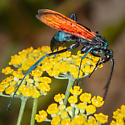 Tarantula Hawk? - Pepsis - male