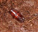 Tiny beetles for ID - Uloma