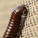 Female Millipede - Orthoporus texicolens - female