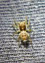 M. minuta female  - Marchena minuta - female