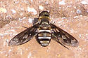 Bee Fly? - Exoprosopa fascipennis
