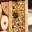 Megachile sp. mating? Any idea on species? - Osmia cornifrons - male - female
