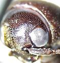Dirrhagofarsus - Dirrhagofarsus ernae