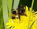 Bombus fernalde? - Bombus fernaldae - female