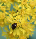 Shining Flower Beetle - Olibrus