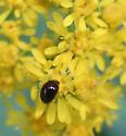 Shining Flower Beetle - Olibrus