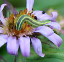 Caterpillar ID?  - Melanchra