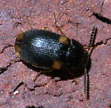 Small, dark beetle with four pale spots - Mycetophagus serrulatus
