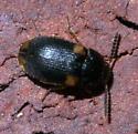 Small, dark beetle with four pale spots - Mycetophagus serrulatus
