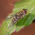 Syrphid ID - Syrphus torvus - female