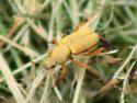 Orange-legged yellow beetle - Macrodactylus