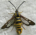 Sycamore Borer in California - Synanthedon resplendens - female