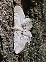 Patterned Moth on Oak Tree #3 - Iridopsis larvaria