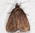 unknown brown moth - Idia rotundalis