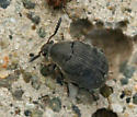 small black beetle - Bruchidius villosus