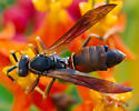 Paper Wasp? - Polistes fuscatus - male