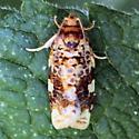 Fruit-Tree Leafroller Moth - 3648 - Dorsal - Archips argyrospila - male