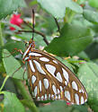 Orange  butterfly with striped body - Agraulis vanillae
