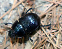 scarab - Geotrupes