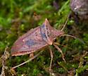 Stink bug? - Euschistus ictericus