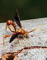 Megarhyssa - Labena grallator - female