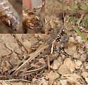 Devastating Grasshopper - Melanoplus devastator - male