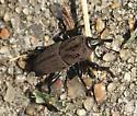 weevil? - Sphenophorus coesifrons