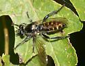 Robber Fly - Laphria - female