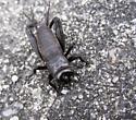 Spring Field Cricket? - Gryllus veletis - male