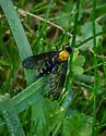 Yellow thorax diptera - Chrysopilus thoracicus