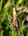 Grasshopper species - Schistocerca americana - male