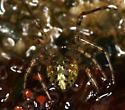 tiny spider - Platnickina tincta