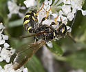 6027270 Crabronid - Eucerceris flavocincta