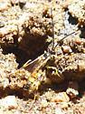 Ichneumidae