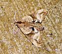 Looks like a leaf, but it is a moth - Paonias excaecata