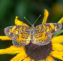 Crescent, Checkerspot or something else ? - Phyciodes tharos