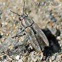 Small Beetle - Sphenoptera jugoslavica