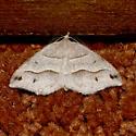 Lorquin's Angle - Macaria lorquinaria - male