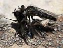 Robberfly - Lestomyia