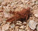 Cibolacris parviceps - Cibolacris - female