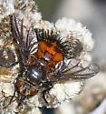 Subfamily Tachininae?