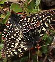 Euphydryas chalcedona mating? - male - female