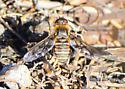 Orange County Bee Fly Archives #140 - Exoprosopa