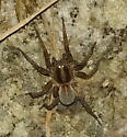 Wolf spider. Trochosa? - Trochosa